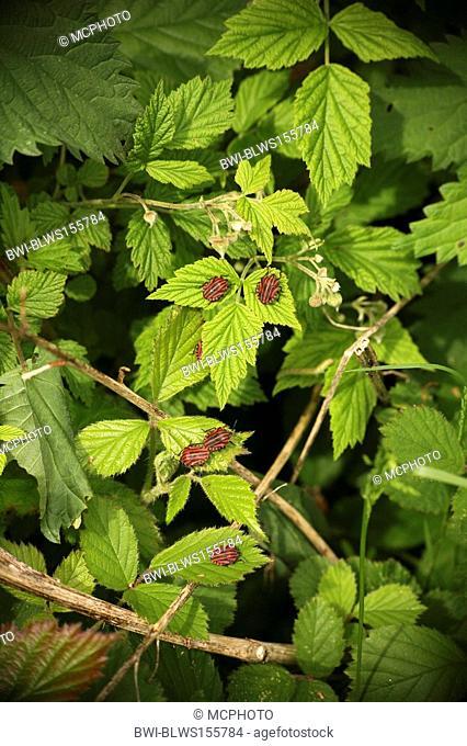 Graphosoma lineatum Graphosoma lineatum, Graphosoma italicum, on plant