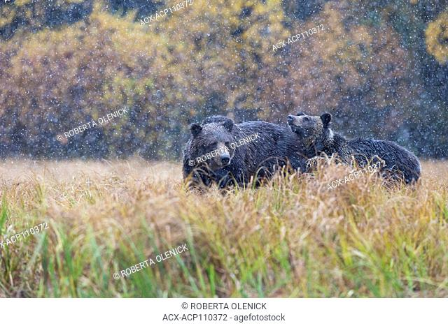 Grizzly bear (Ursus arctos horribilis), female and cub, in early snowfall, Chilcotin Region, British Columbia, Canada