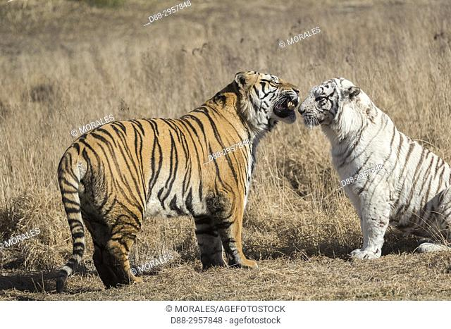South Africa, Private reserve, Asian (Bengal) Tiger (Panthera tigris tigris), one regular and one white, confrontation between the male (normal) and the female...