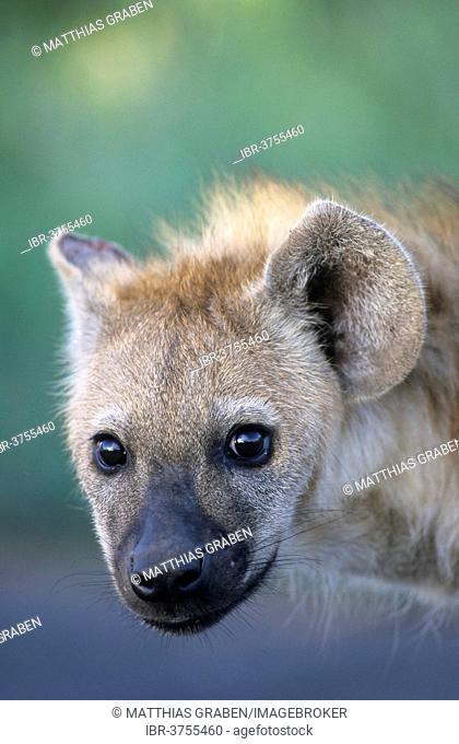 Spotted Hyena (Crocuta crocuta), young, cub, Kgalagadi Transfrontier Park, South Africa