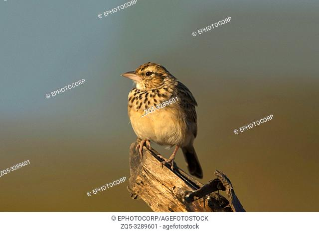 Lark a small ground-dwelling songbird, Pune, Maharashtra, India