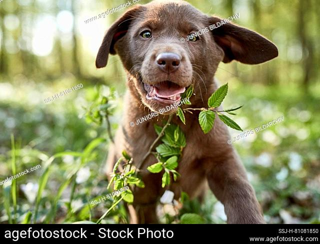 Labrador Retriever. Puppy running in a forest in spring. Germany