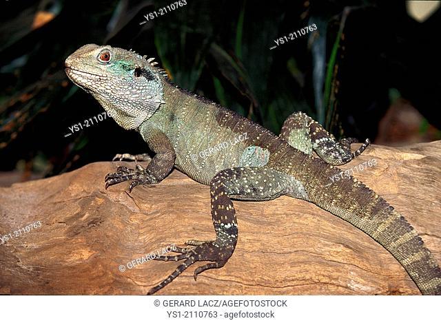 Australian Water Dragon, physignathus lesueurii