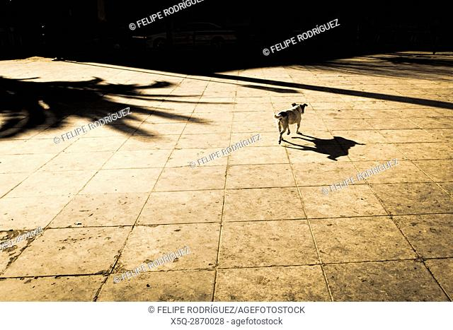 Mongrel, town of Carmona, province of Seville, Spain