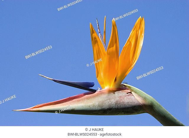 crane flower, bird of paradise flower, geel piesang Strelitzia reginae, flower