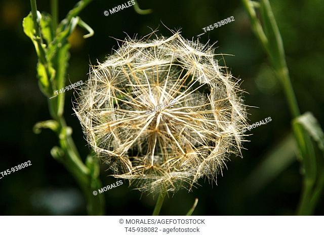 Wild flower, Salsify (Tragopogon sp.), Vaucluse, France