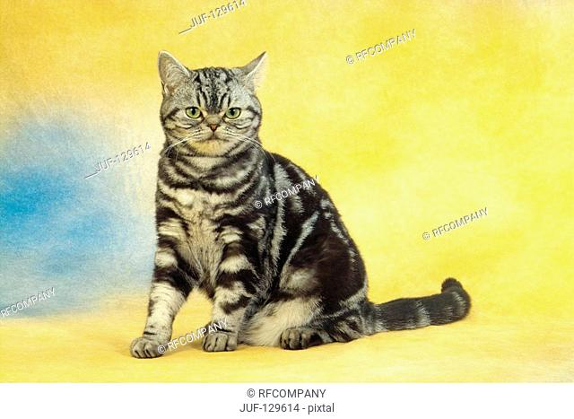 British Shorthair cat - sitting - cut out