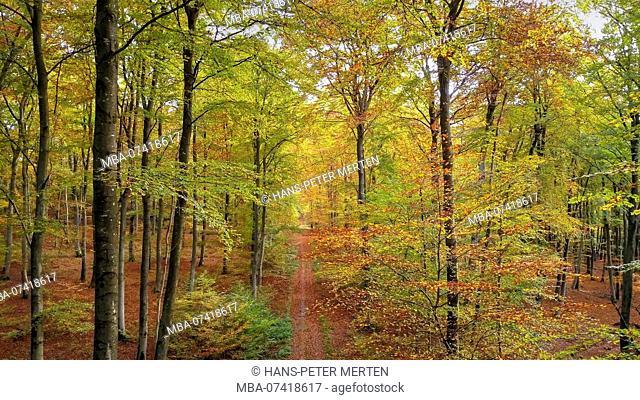 Beech wood in autumn, Freudenburg, Saar Valley, Rhineland-Palatinate, Germany