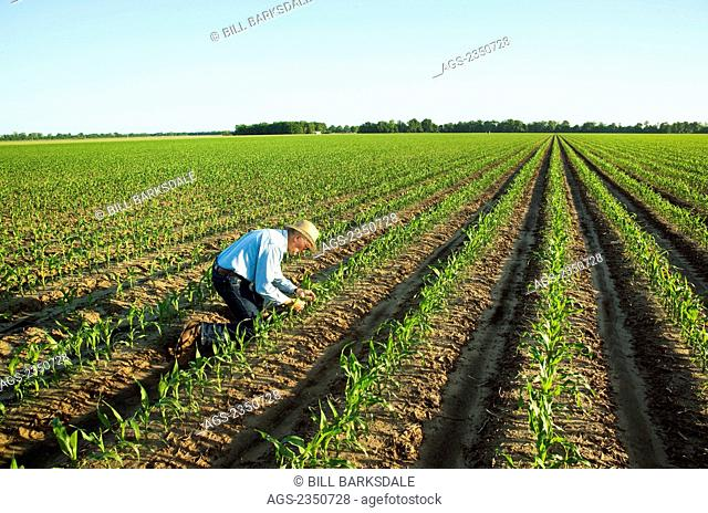 Agriculture - A farmer (grower) examines early growth grain corn plants at the 6-7 leaf stage in early morning light / near England, Arkansas, USA