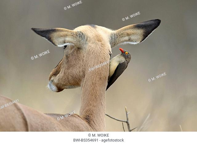 Red-billed Oxpecker (Buphagus erythrorhynchus), sits at the neck of a female Impala, South Africa, Kruger National Park