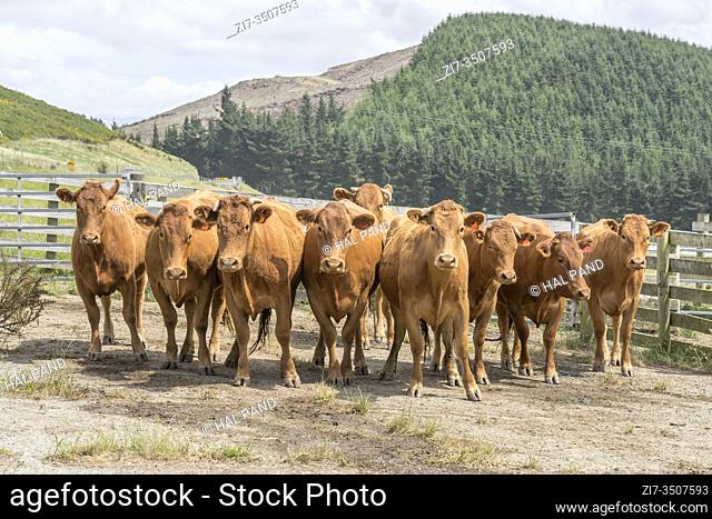 group of attentive cows in paddock, shot in bright spring light near Kakahul, Canterbury, South Island, New Zealand