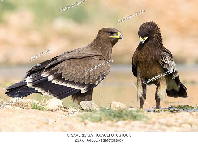 Steppe Eagle, Juvenile together with a Greater Spotted Eagle, Salalah, Dhofar, Oman (Aquila nipalensis)