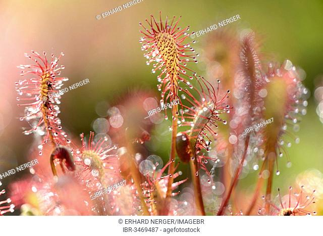 Oblong-leaved Sundew or Spoonleaf Sundew (Drosera intermedia)
