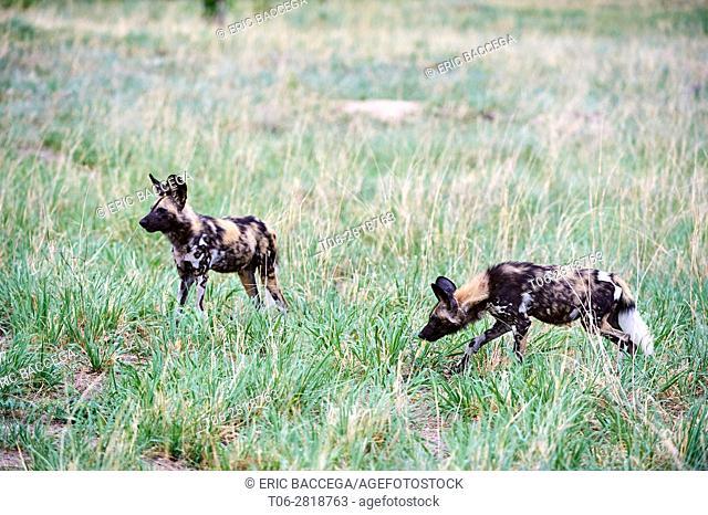 Two African wild dogs (Lycaon pictus) walking in savanna. Hwange National Park, Zimbabwe