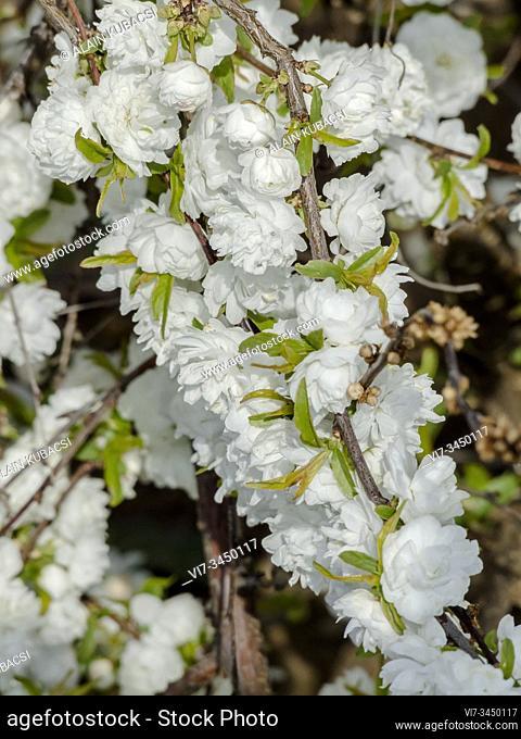 Prunus glandulosa 'Alba Plena'
