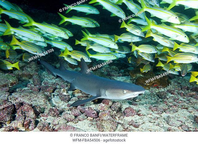 Whitetip Reef Shark, Triaenodon obesus, Cocos Island, Costa Rica