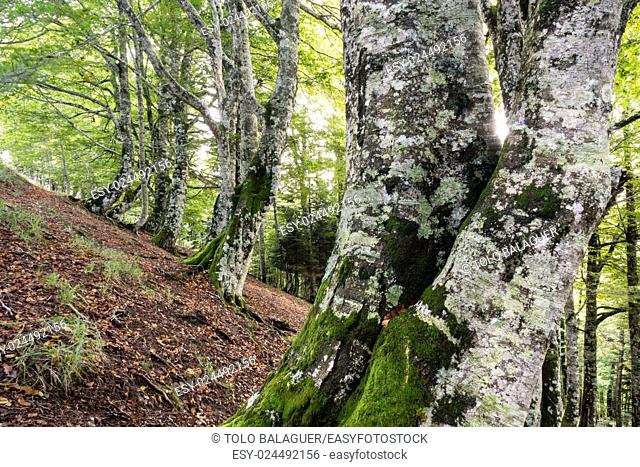 Lizardoia Integral Nature Reserve, Irati Forest, Navarra, Spain