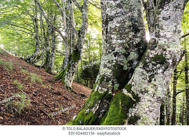 Lizardoia Integral Nature Reserve, Irati Forest, Navarra, Spain