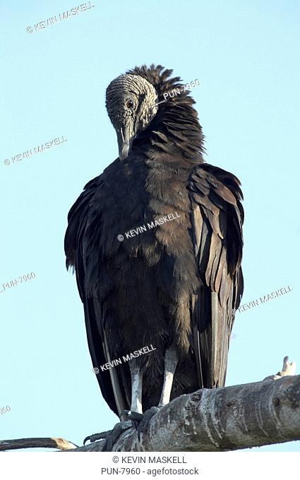 Black vulture Coragps atratus preening in tree in the Everglades, Florida, USA