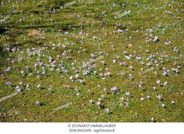 Woodland crocuses
