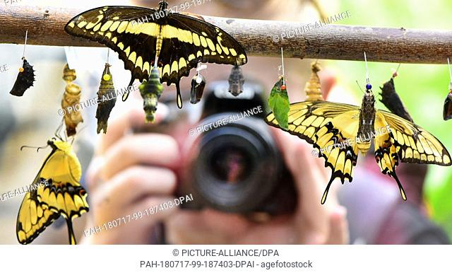 13 July 2018, Germany, Wittenberg Lutherstadt:A woman takes a picture of a few minutes old king swallowtails at the butterfly nursery at the Alaris butterfly...