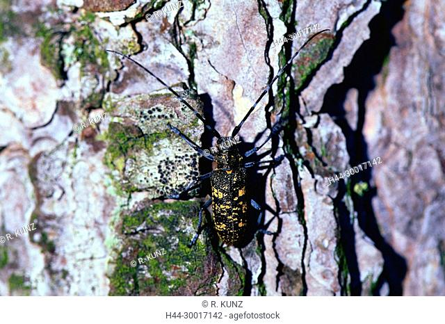 Longhorn beetle, Monochamus sartor, male, Cerambycidae, beetle, insect, animal, Baronnies, Drôme Department, Provence, France