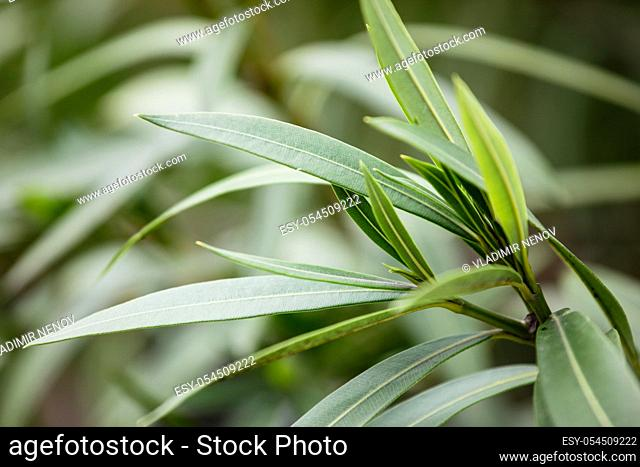 Nerium oleander is a shrub or small tree in the dogbane family Apocynaceae, toxic in all its parts