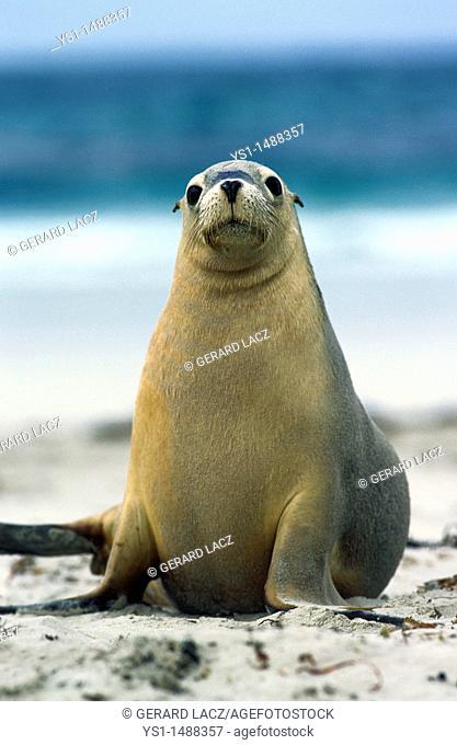 Australian Sea Lion, neophoca cinerea, Adult standing on Beach, Australia