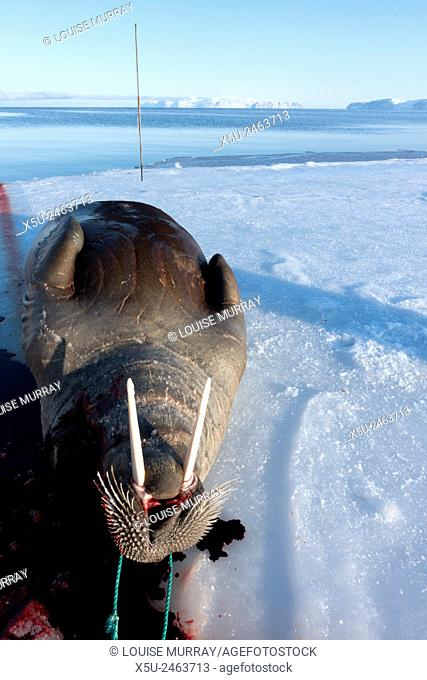 Adult female walrus hunted using harpoon near Qaanaaq, Greenland is first towed back by boat then dragged up on to the ice for butchery