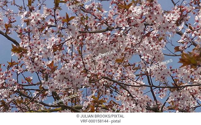 Peach blossom against a blue sky