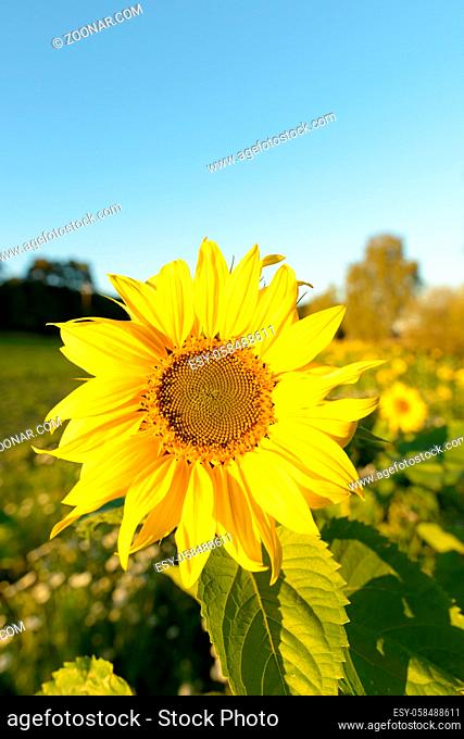Portrait of sunflower blooming against beautiful scenery of fields in nature