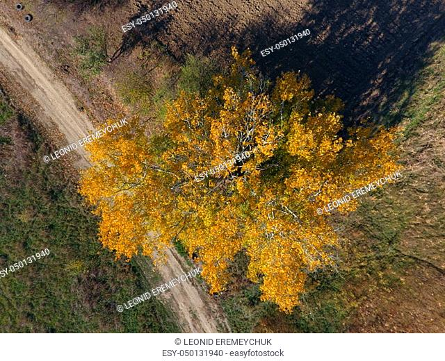 Yellow leaves on a silver poplar, top view of a poplar tree in the fall