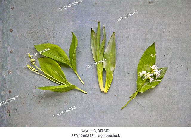 Poisonous wild garlic lookalikes: lily of the valley and autumn crocus
