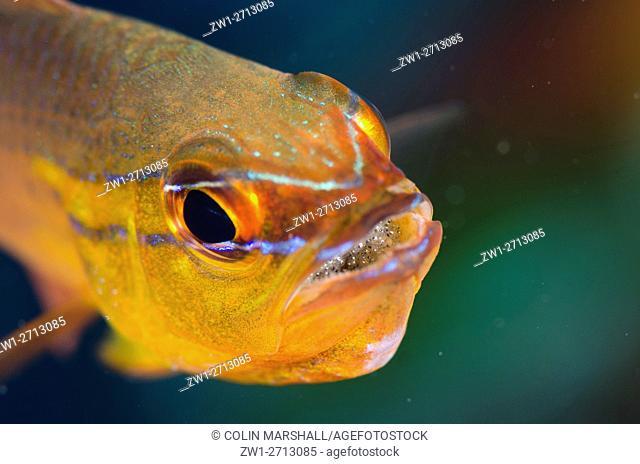 Goldbelly Cardinalfish (Ostorhinchus apogonides) with eggs in mouth, Coral Gardens dive site, Seraya, Bali, Indonesia