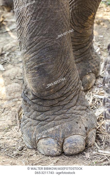 Laos, Sainyabuli, Asian Elephant, elephas maximus, elephant's feet
