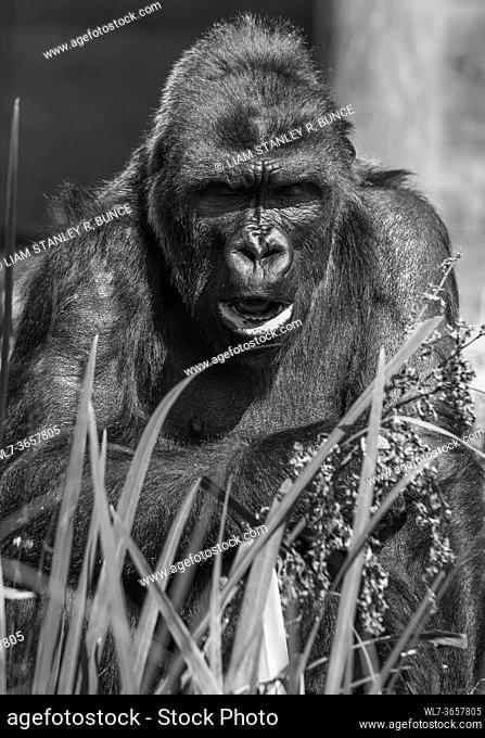 Adult Western Lowland Gorilla (Gorilla gorilla gorilla) captive Bristol UK. August 2019