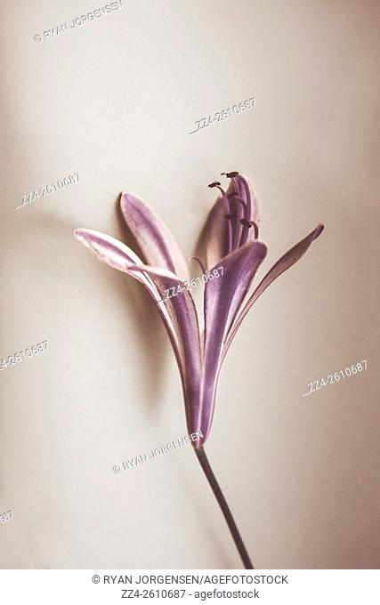 Old style purple Agapanthus flower on minimal paper background. Blooms in detail
