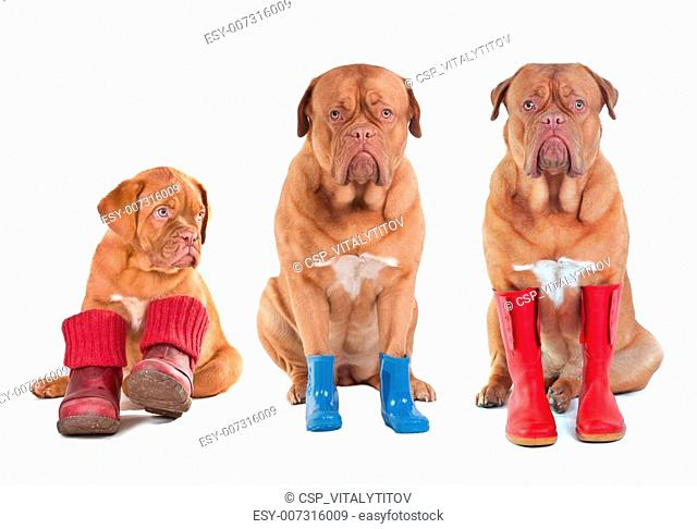 Different ages of Dogue De Bordeaux (French Mastiff) dogs with various boots for all seasons isolated on white background
