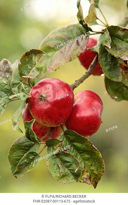 Cultivated Apple Malus domestica 'Ben's Red', English dessert apple variety, fruit on tree in orchard, Shropshire, England