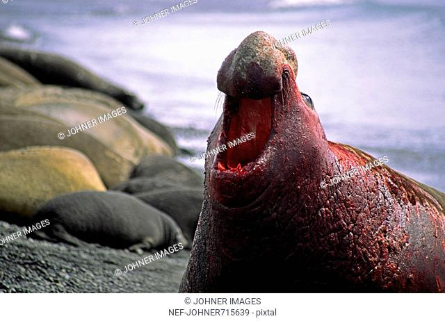 A bloody male elephant-seal, Sout Georgia