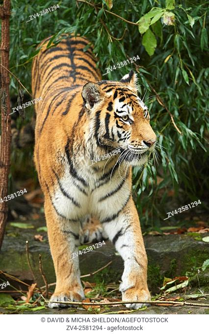 Close-up of a Siberian tiger or Amur tiger (Panthera tigris altaica) in autumn. Captive. Germany