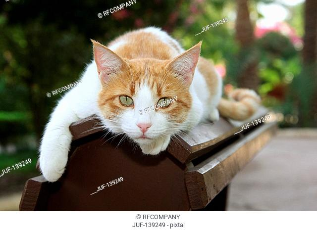 domestic cat - lying on bench