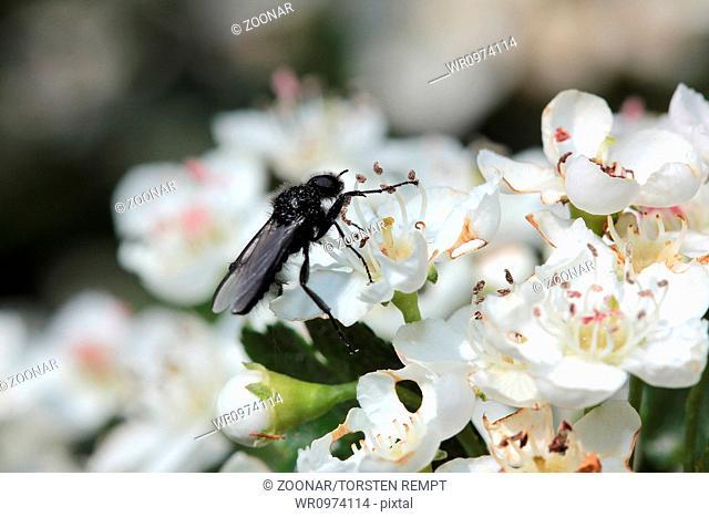 Hawthorn blossom with Bibio marci