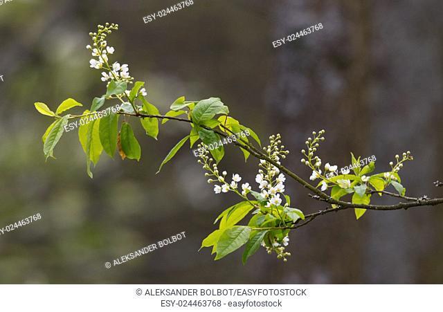 Single flowering Bird Cherry (Padus avium Mill. ) branch in spring against blurry dark background