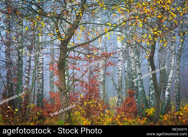 Autumnal woodland in the foothills of Mala Fatra mountain range, Slovakia