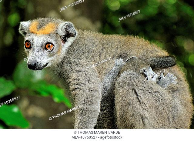 Crowned Lemur - female with baby (Eulemur coronatus)