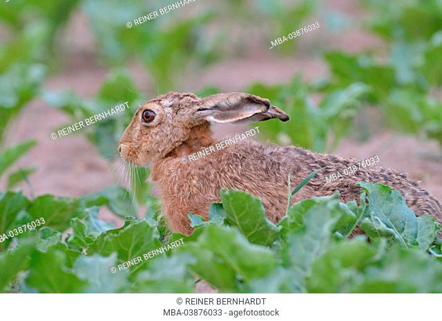 brown hare in the turnip field