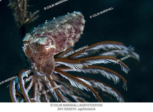 Broadclub Cuttlefish (Sepia latimanus), Juvenile by Crinoid, Batu Sandar dive site, Lembeh Straits, Sulawesi, Indonesia