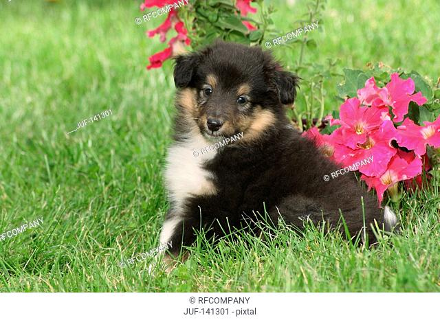 Sheltie - puppy sitting in front of flowers