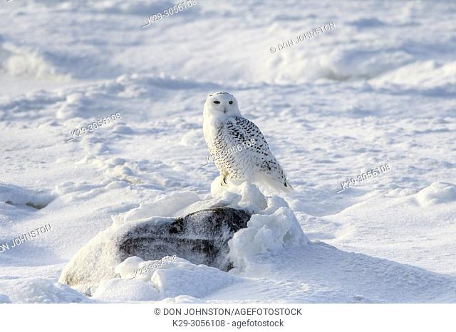 Snowy owl (Bubo scandiacus) hunting along shore of Hudson Bay, Wapusk NP, Cape Churchill, Manitoba, Canada